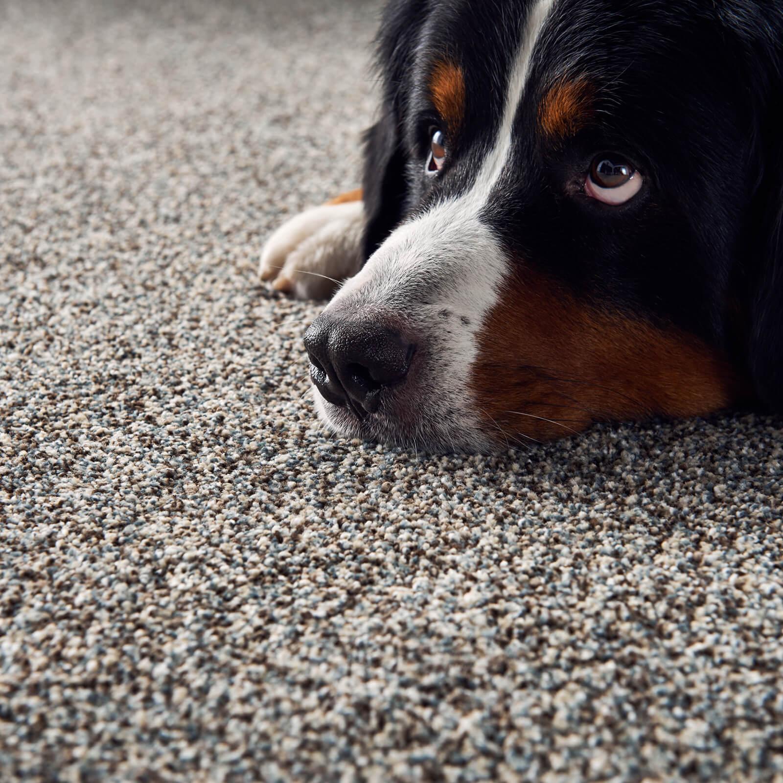 Pet friendly Carpet | BFC Flooring Design Centre